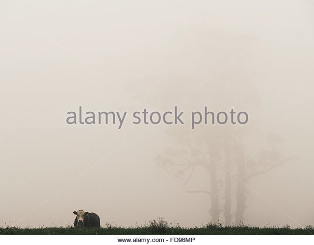 Cow Grazing On Field In Foggy Weather - Stock Image