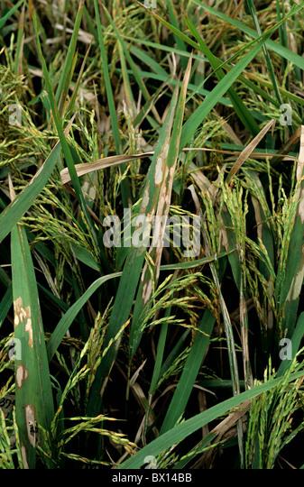 Sheath blight (Thanatephorus cucumeris) infection on rice crop, Philippines - Stock Image