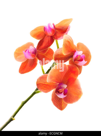 Digital Painting Of Orchid Flower Isolated On White - Stock Image