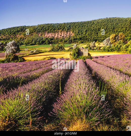 Lavender field, Vaucluse, Provence, France, - Stock Image