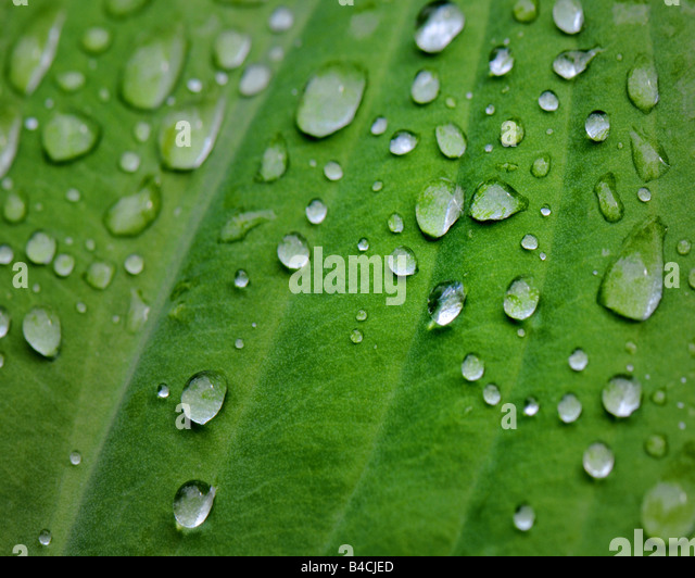 NATURE: Water droplets on green leaf - Stock Image