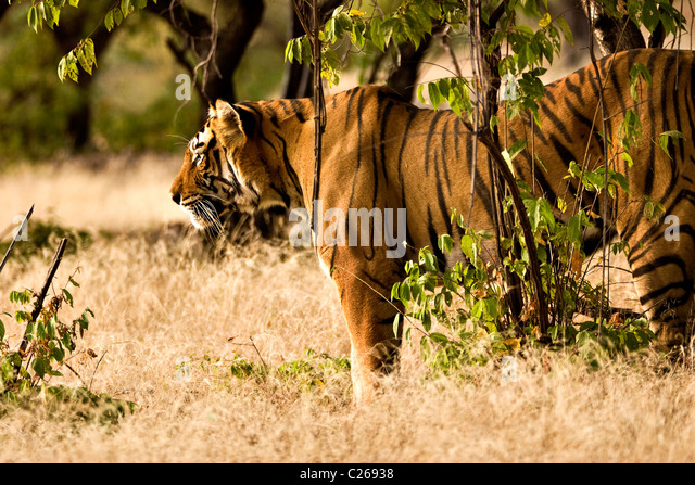 Tiger moving on the dry grasses of the dry deciduous forest of Ranthambore tiger reserve at sunrise - Stock Image