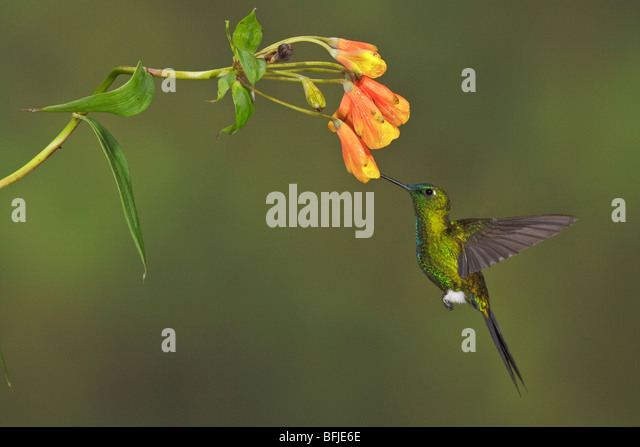 Saphire-vented Puffleg (Eriocnemis luciani) flying and feeding at a flower at the Yanacocha reserve near Quito, - Stock Image