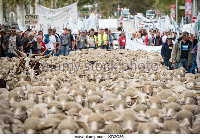 Lyon, France. 9th Oct, 2017. French breeders march with their flock of sheep in Lyon on October 9, 2017 to draw - Stock Image
