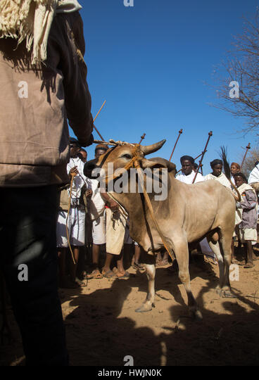 Slaughter of a bull during the Gada system ceremony in Borana tribe, Oromia, Yabelo, Ethiopia - Stock-Bilder