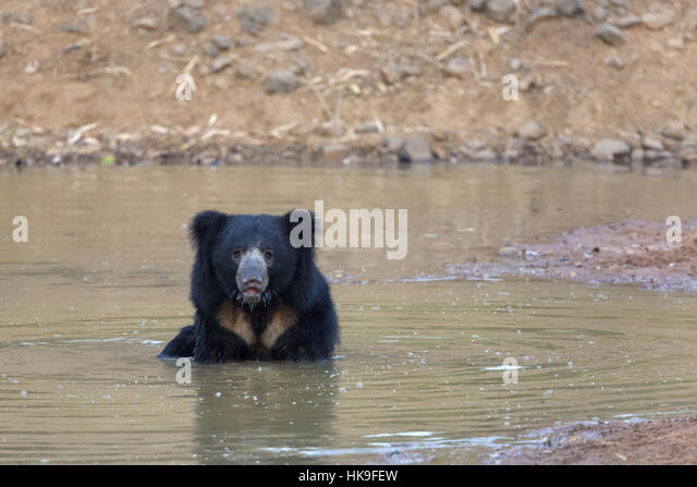 Sloth bear (Melursus ursinus), adult bathing in waterhole, Tadoba National Park, Maharashtra, India, April - Stock-Bilder