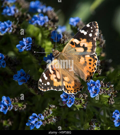 Orange Butterfly on Blue Flowers - Stock Image