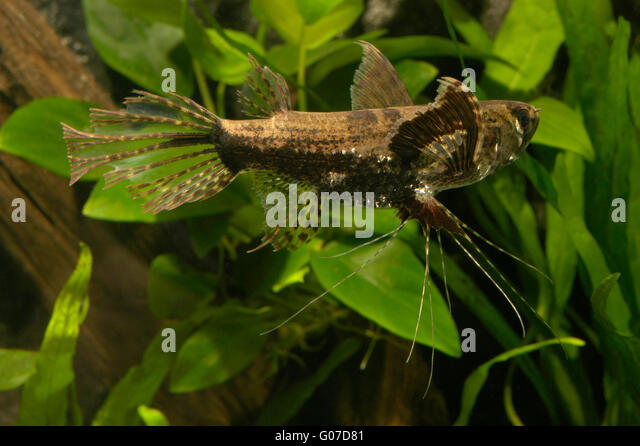 Niger delta stock photos niger delta stock images alamy for Freshwater butterfly fish