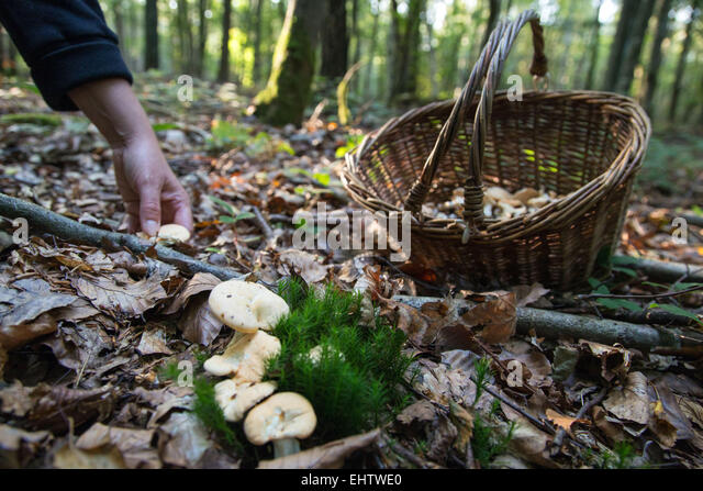 GATHERING EDIBLE MUSHROOMS (SWEET TOOTH, WOOD HEDGEHOG, HEDGEHOG MUSHROOM) IN THE FOREST OF CONCHES-EN-OUCHE, EURE - Stock Image