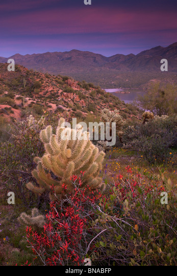 Wildflowers along Bartlett Lake, Tonto National Forest, near Phoenix, Arizona. - Stock-Bilder