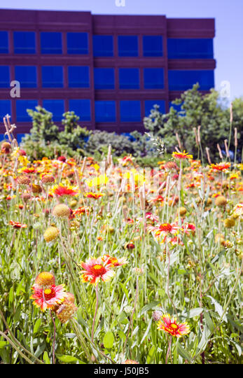 Montgomery Alabama Perry Hill Road wild flower Indian Blanket orange yellow flora field nature beauty roadside office - Stock Image