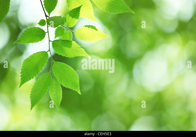 Closeup of fresh green leaves in forest - Stock Image