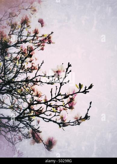 Magnolia blooms - Stock Image