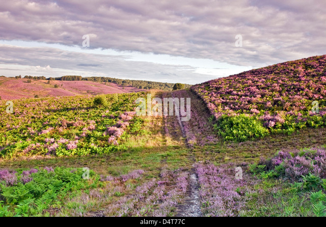 Path across heather in bloom heathland hills view towards Sherbrook Valley in summer Cannock Chase Country Park - Stock-Bilder