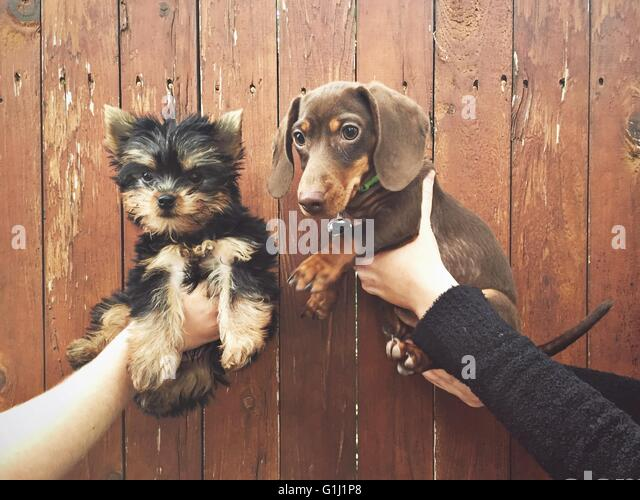 Human hands holding two puppies - Stock Image