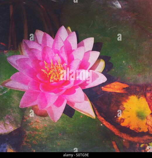 Pink Water Lily with Lily pads - Stock Image