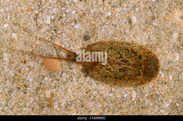 tadpole shrimp, freshwater tadpole shrimp, rice apus (Triops ...