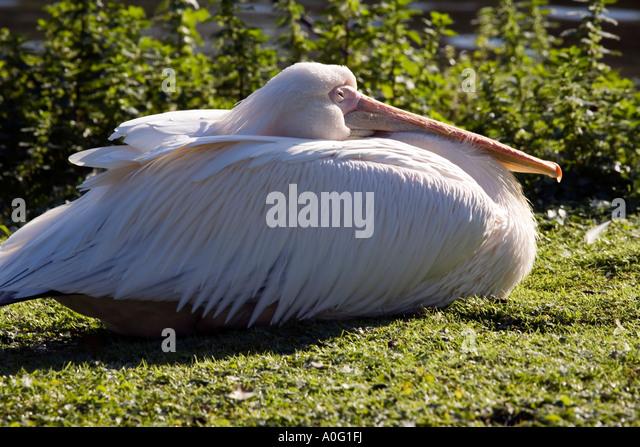 European White Pelican ( Pelecanus onocrotalus ) - Stock Image