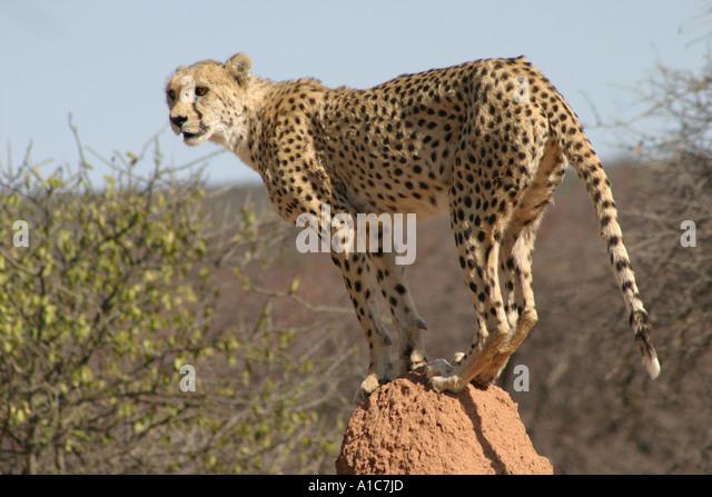 Adult Cheetah on Termite mound in Namibia, Africa . Acinonyx Jubatus - Stock Image