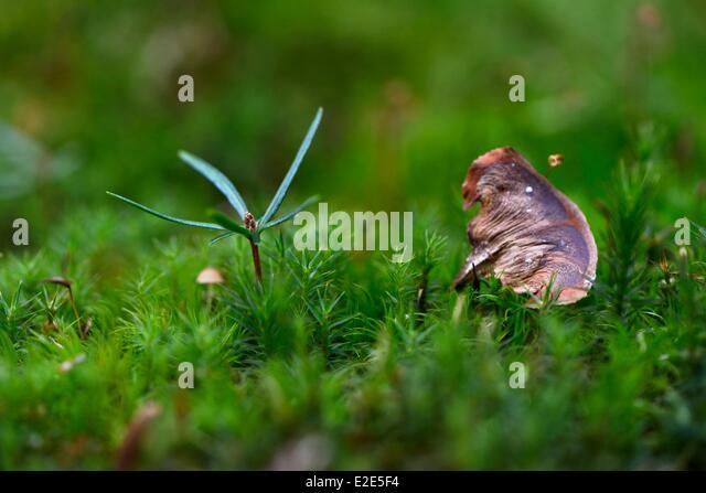 France, Territoire de Belfort, Giromagny, forest, silver fir (Abies alba) gemination in the foam - Stock Image