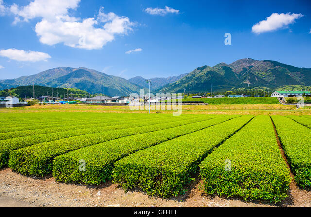 Tea plantation landscape in Yokkaichi, Japan. - Stock-Bilder