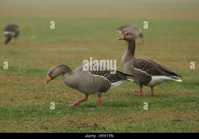 London, UK. 30th Dec, 2016. A pair of lesser White Fronted goose walk through the grass at Wanstead park on a foggy - Stock Image
