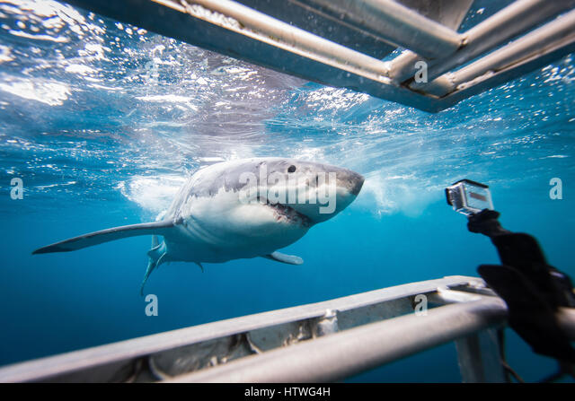 Great White Shark (Carcharodon carcharias) - Stock-Bilder