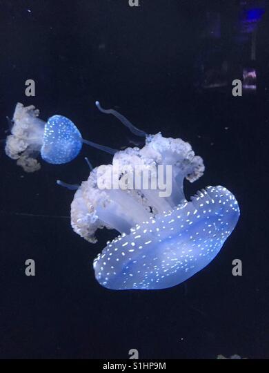 Translucent Jellyfish - Stock-Bilder