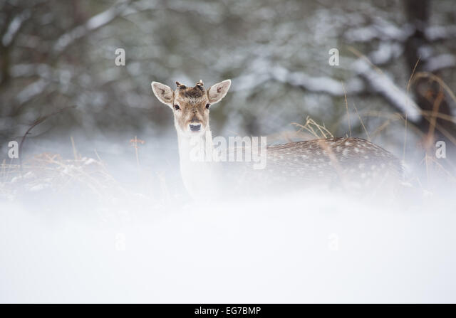A young Fallow buck photographed in Richmond Park, London on the only snow day South West London has received so - Stock Image