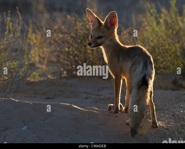 Cape Fox with rat, Kgalagadi Transfrontier Park, Africa - Stock-Bilder