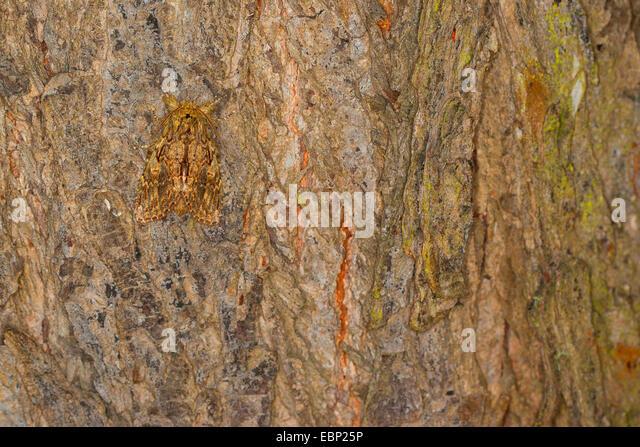 Great prominent (Peridea anceps, Notodonta anceps, Peridea trepida, Notodonta trepida), well camouflaged on bark, - Stock Image