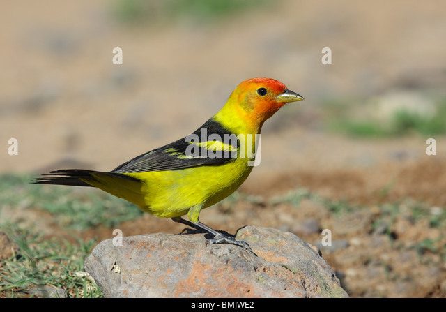 Western Tanager Male - Stock-Bilder