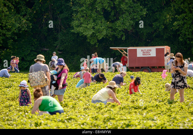 Butler's Orchard, in Germantown, MD, opens its fruit fields to visitors to pick their own strawberries, blueberries, - Stock-Bilder