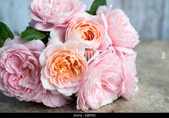 Rosa Queen of Sweden, a David Austin English rose, cut and lying on a stone table - Stock Image
