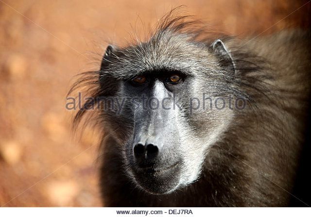 Baboons, Cape Point, South Africa - Stock Image