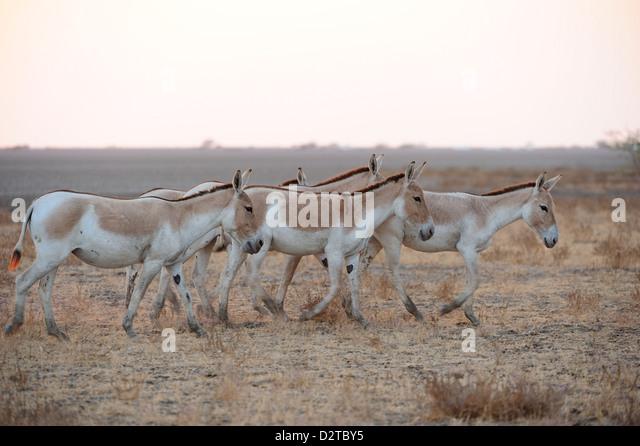 Wild ass roaming the Wild Ass Sanctuary, Gujarat, India, Asia - Stock Image