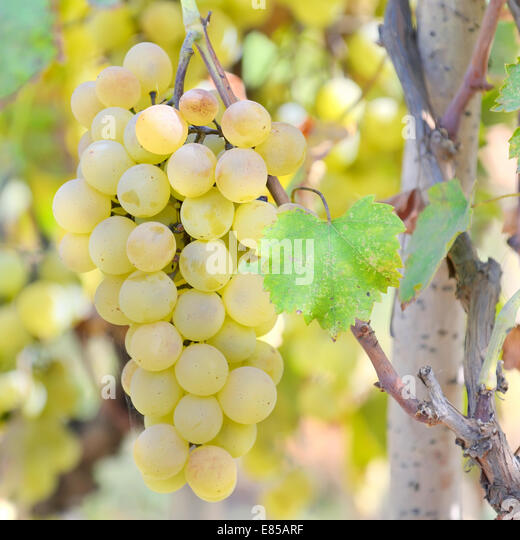 Sweet and tasty white grape bunch - Stock Image