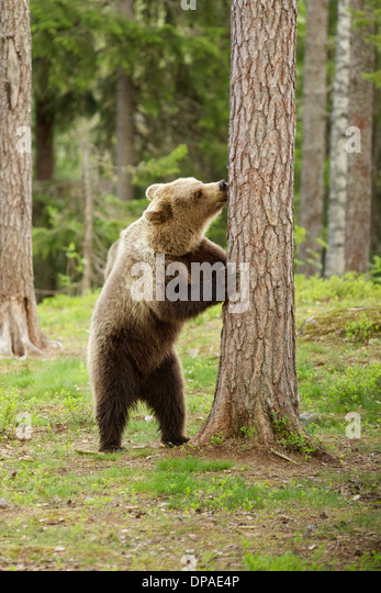 Brown bear behind tree, Taiga Forest, Finland - Stock Image