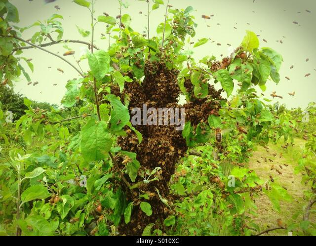 Honey Bee Swarm (Apis Mellifera) - Stock Image