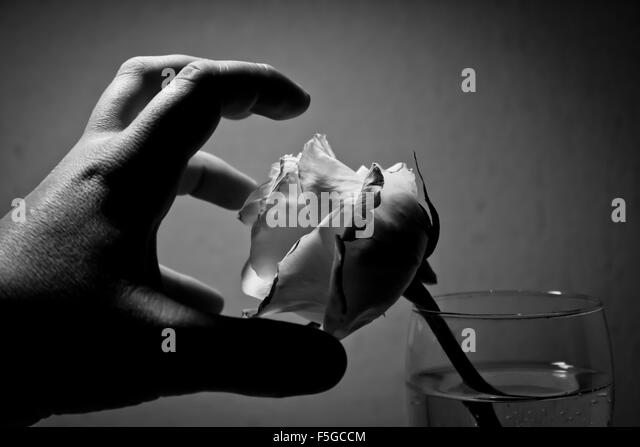 Hand grabs the white rose in the glass - Stock Image