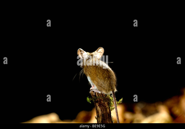 Long-tailed field mouse or wood mouse, Apodemus sylvaticus. - Stock Image