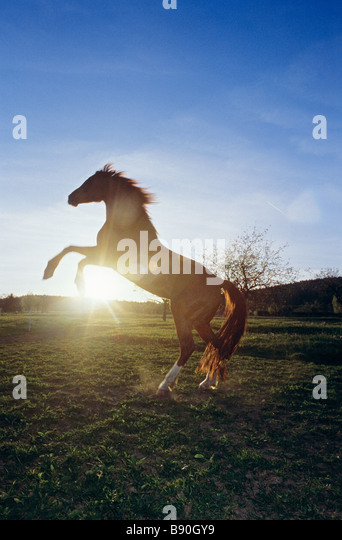 Horse in backlight - rearing - Stock Image
