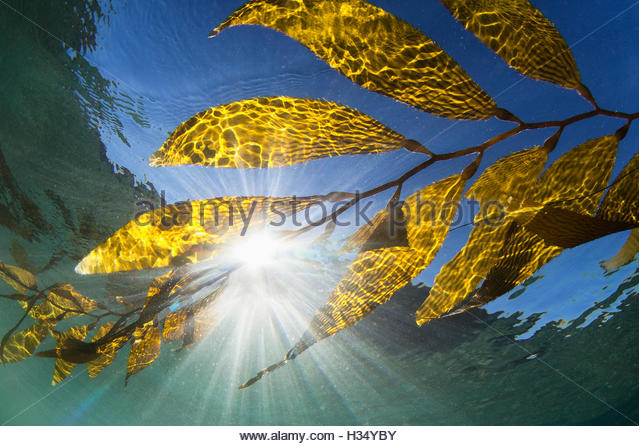 seaweed floating on water surface shot from underwater, California - Stock Image