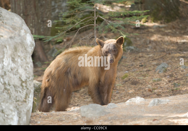 Black Bear (Ursus americanus) out looking for food in Yosemite National Park, California. - Stock Image