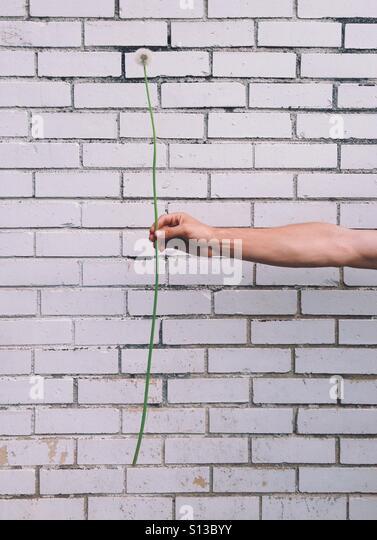 Long Dandelion - Stock Image