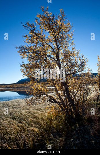 Birch trees on a frosty autumn morning at Fokstumyra nature reserve, Dovre, Norway. - Stock Image