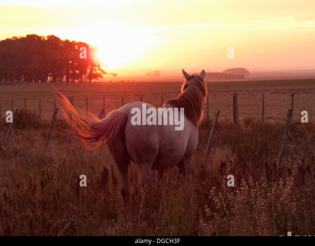 Criollo horse in field at sunset, Uruguay - Stock Image