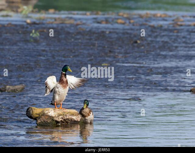 Drake of wild duck stretching its wings on the stone in the middle of the river. The other drake is next to him. - Stock-Bilder