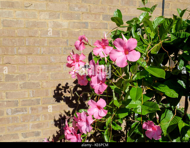 Subtropical vine, Mandevilla, growing against a brick wall. - Stock Image