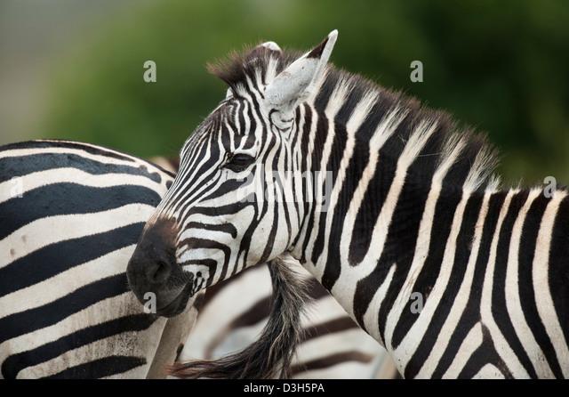 Burchell's zebra (Equus burchellii), Nairobi National Park, Nairobi, Kenya - Stock Image